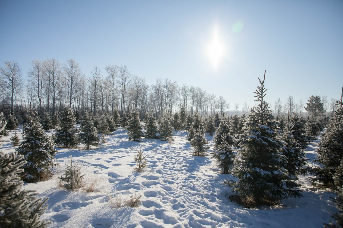 CHRISTMAS TRADITIONS : PICKING OUR TREE